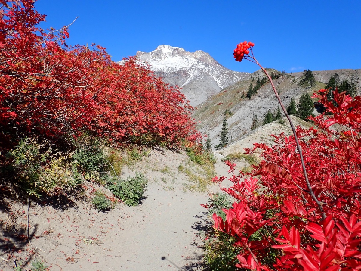 Red leaves and berries frame snow-capped Mount Hood against a bright blue sky.